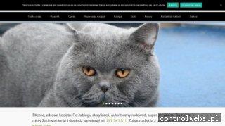 Hodowla Kotów Brytyjskich Niebieskie Misie*PL